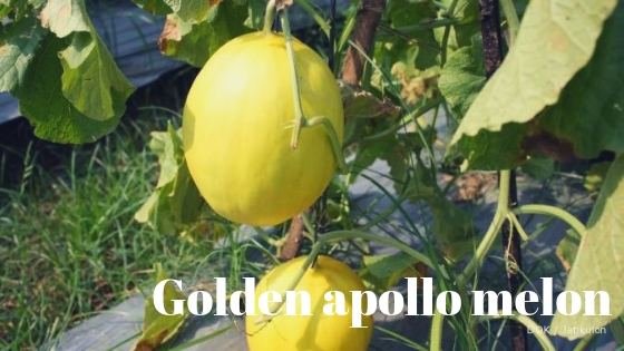 golden apollo melon varieties