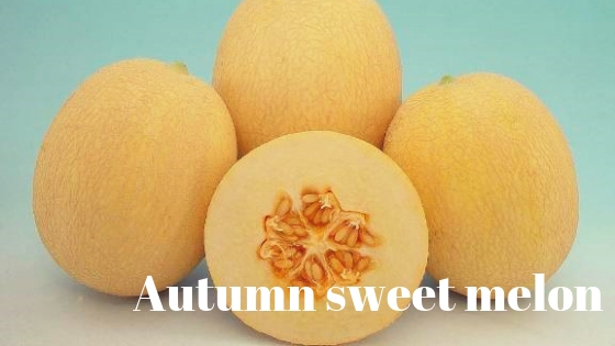 Autumn sweet melon varieties