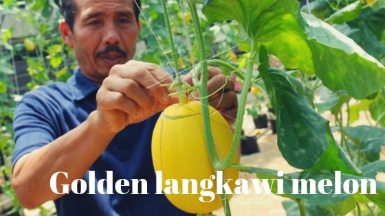Golden langkawi melon varieties