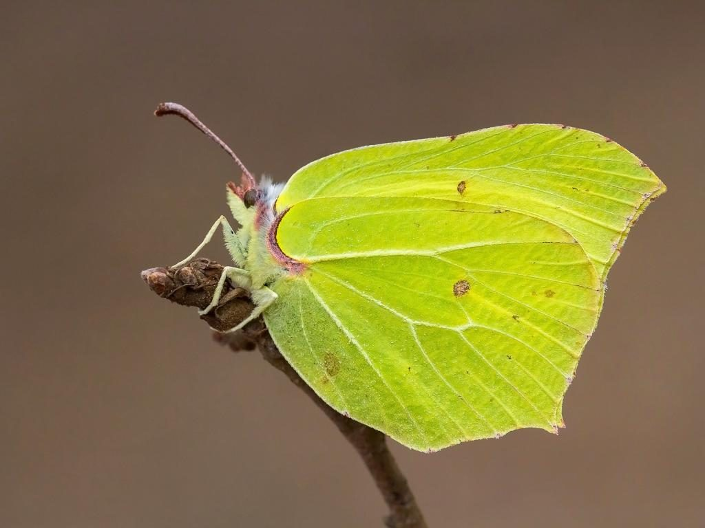 Brimstone male/underwing