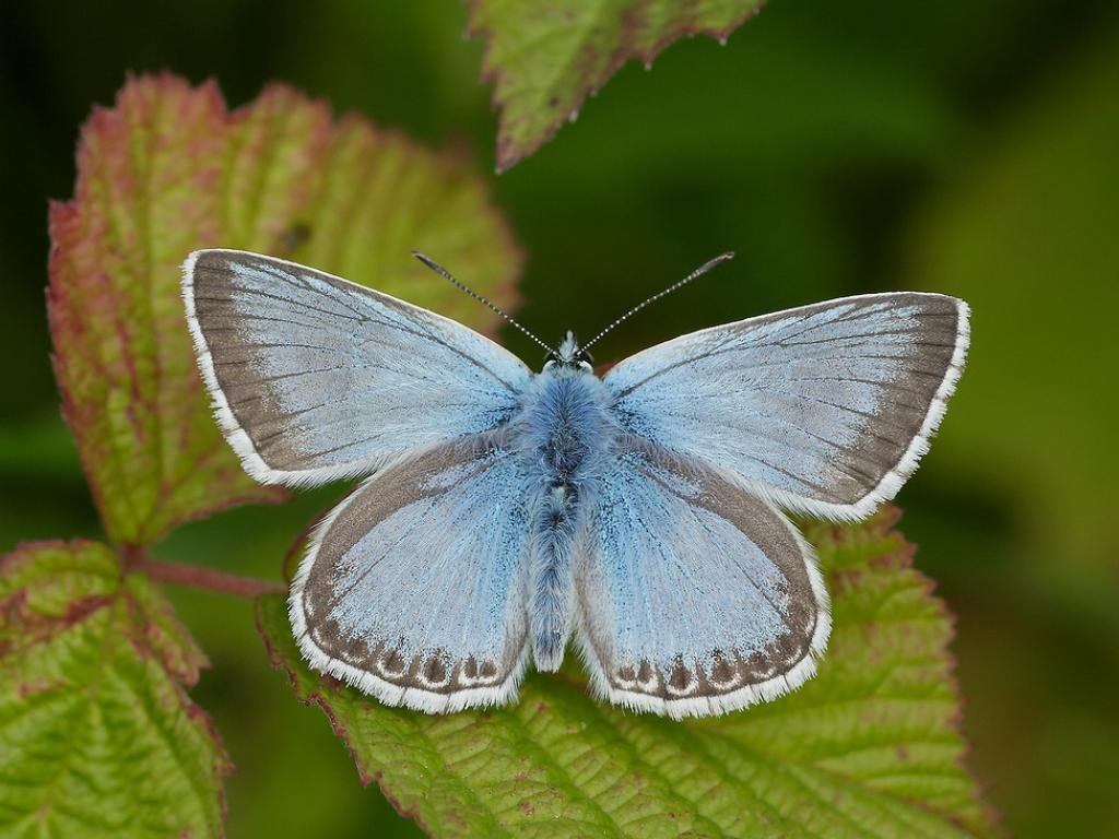 Chalk hill blue male upperwing
