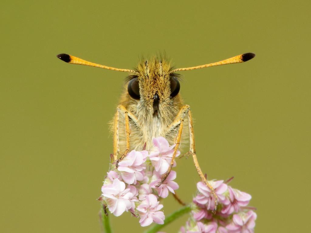 Essex skipper antenna