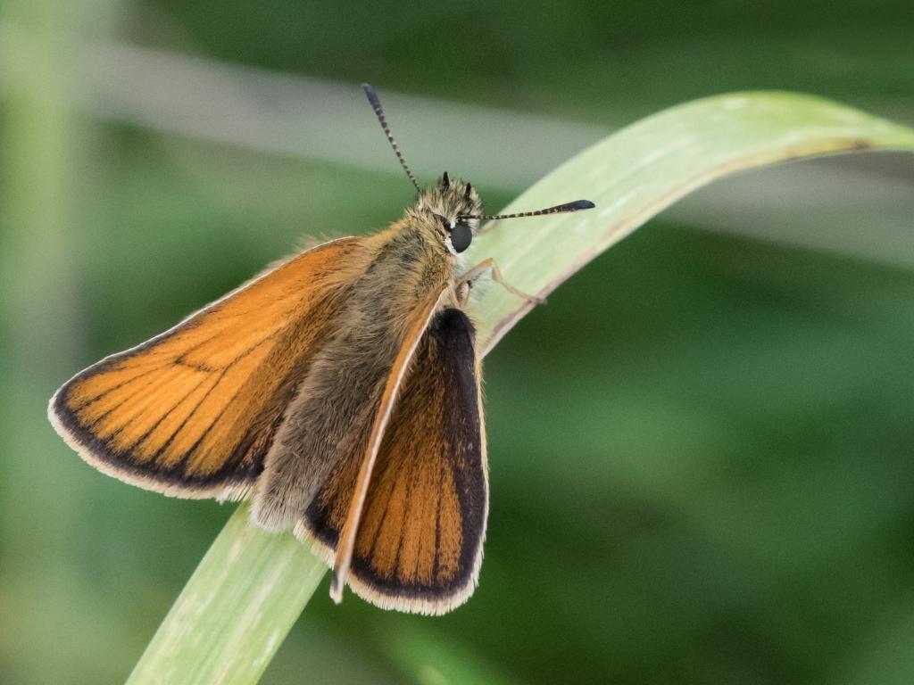 Essex skipper female upperwing
