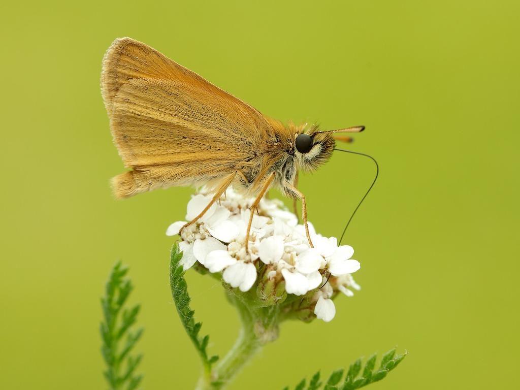 Essex skipper male underwing