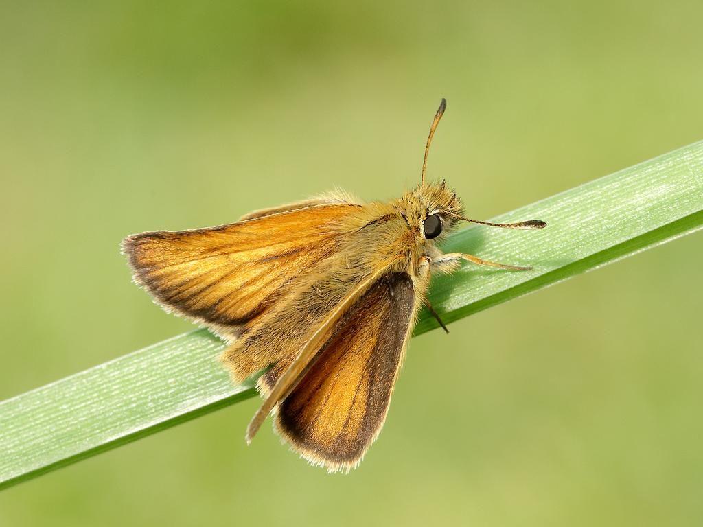 Essex skipper male upperwing