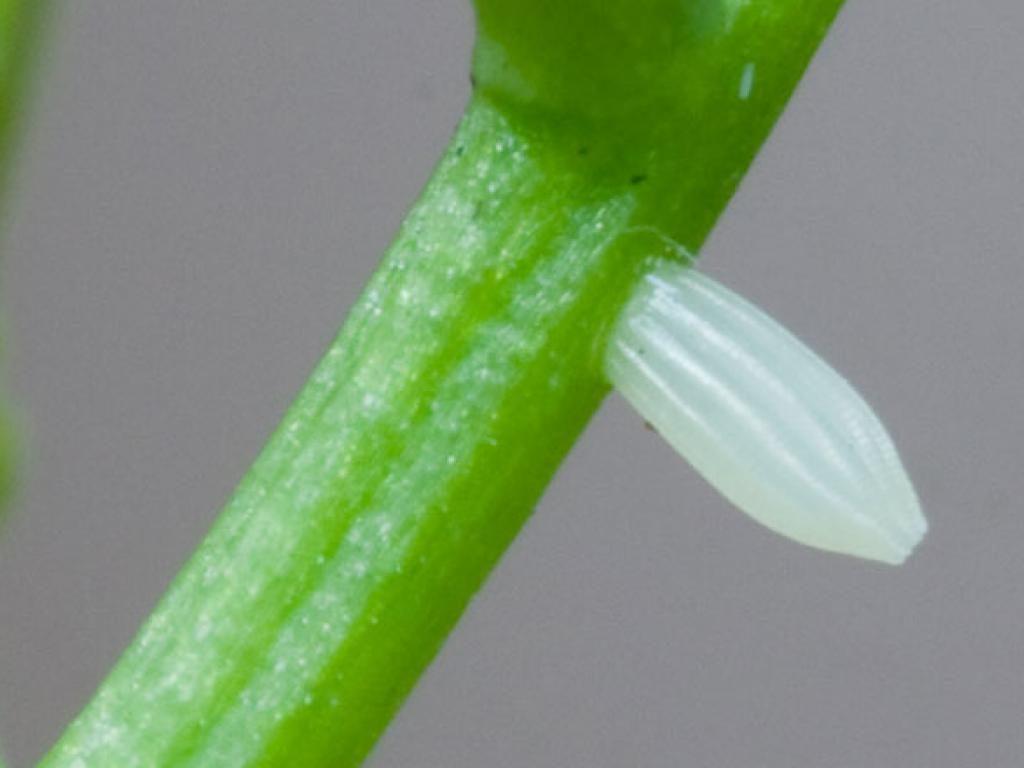 Green-veined white egg