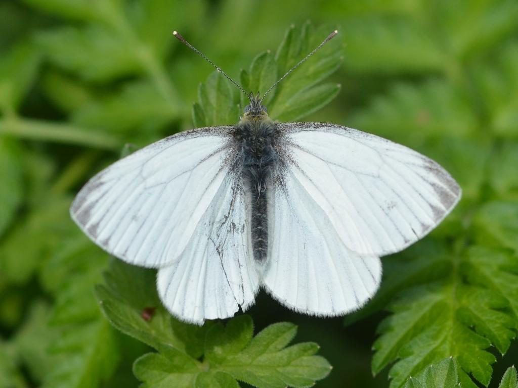 Green-veined white male spring brood