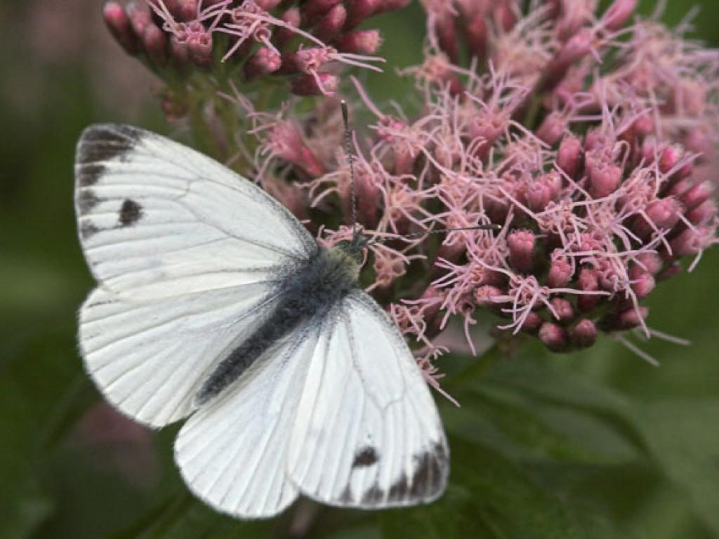 Green-veined white male summer brood