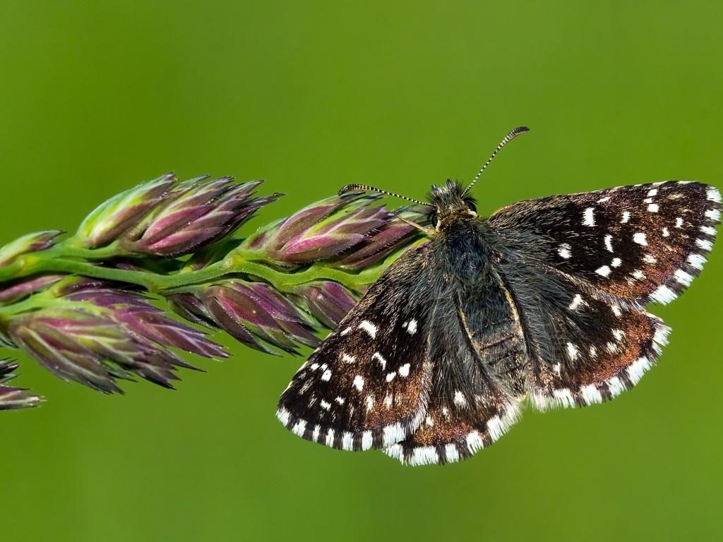 Grizzled skipper upperwing