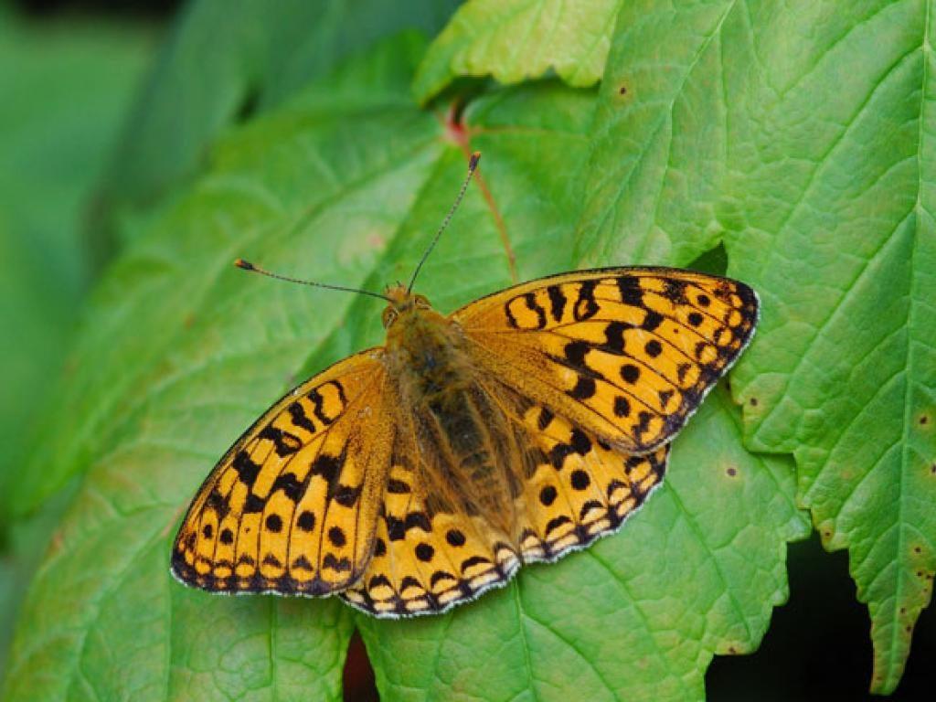 High brown fritillary upperwing