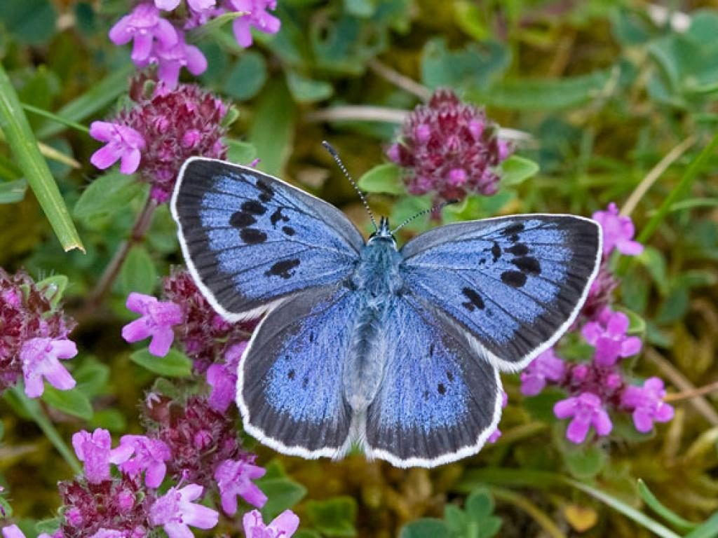Large blue upperwing