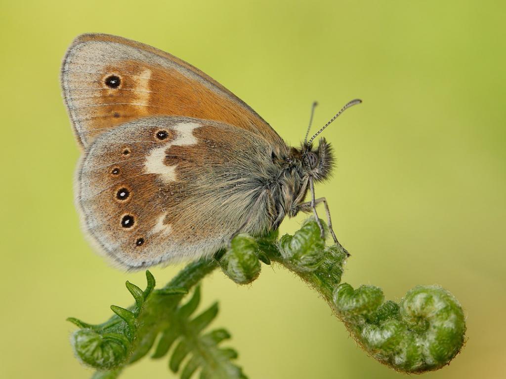 Large heath ssp polydama underwing