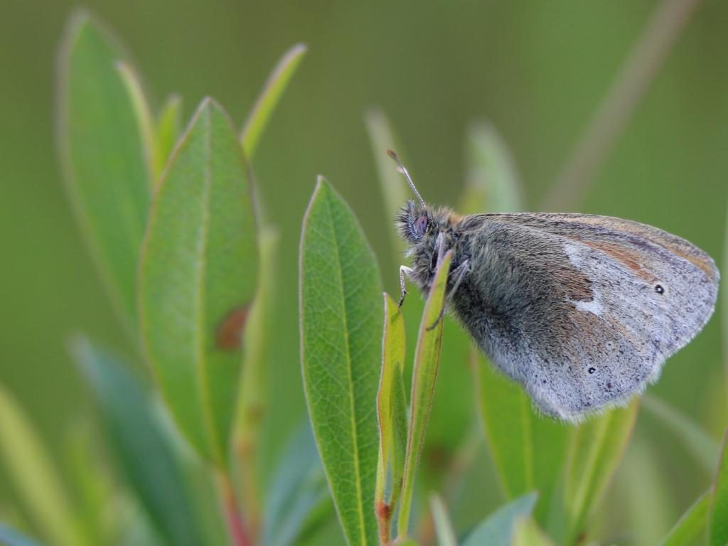 Large heath ssp scotica underwing