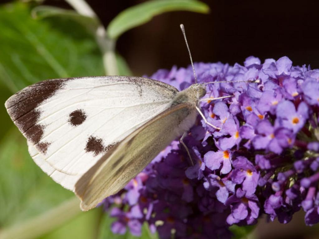 Large white upperwing