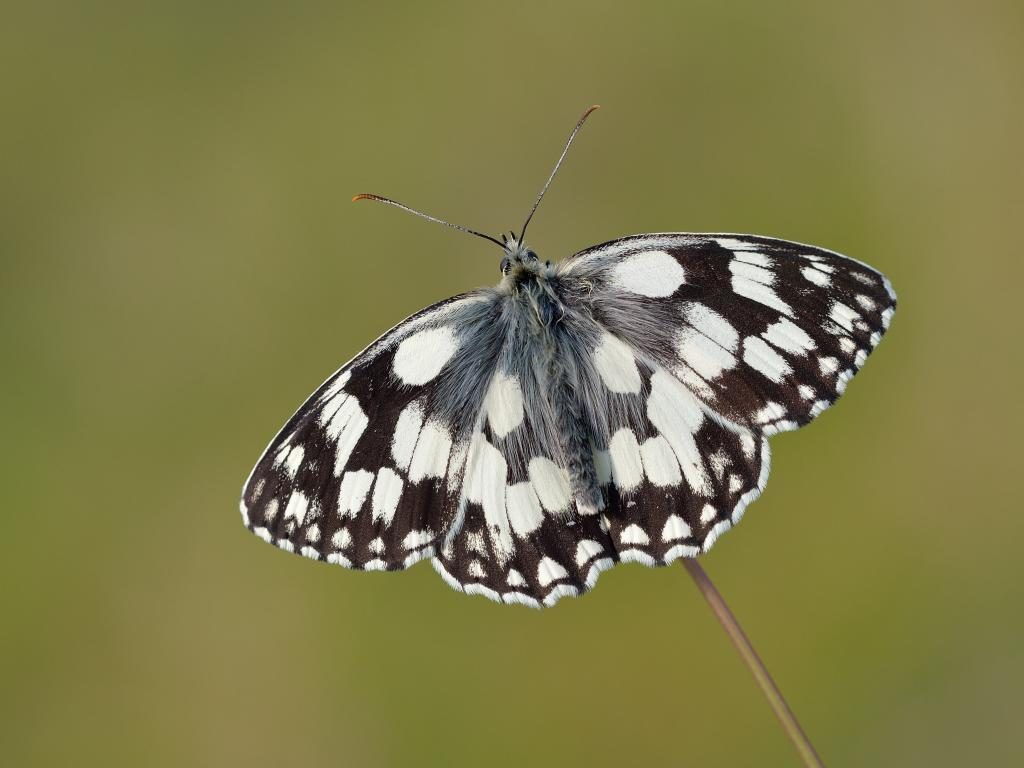 Marbled white upperwing