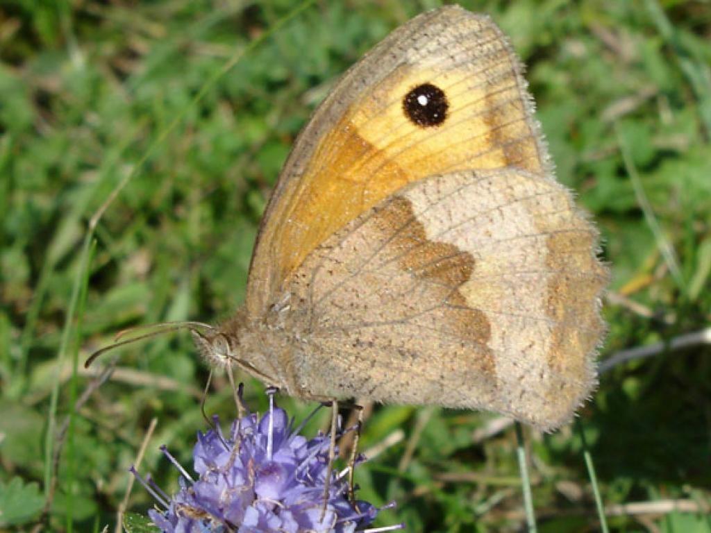 Meadow brown female underwing