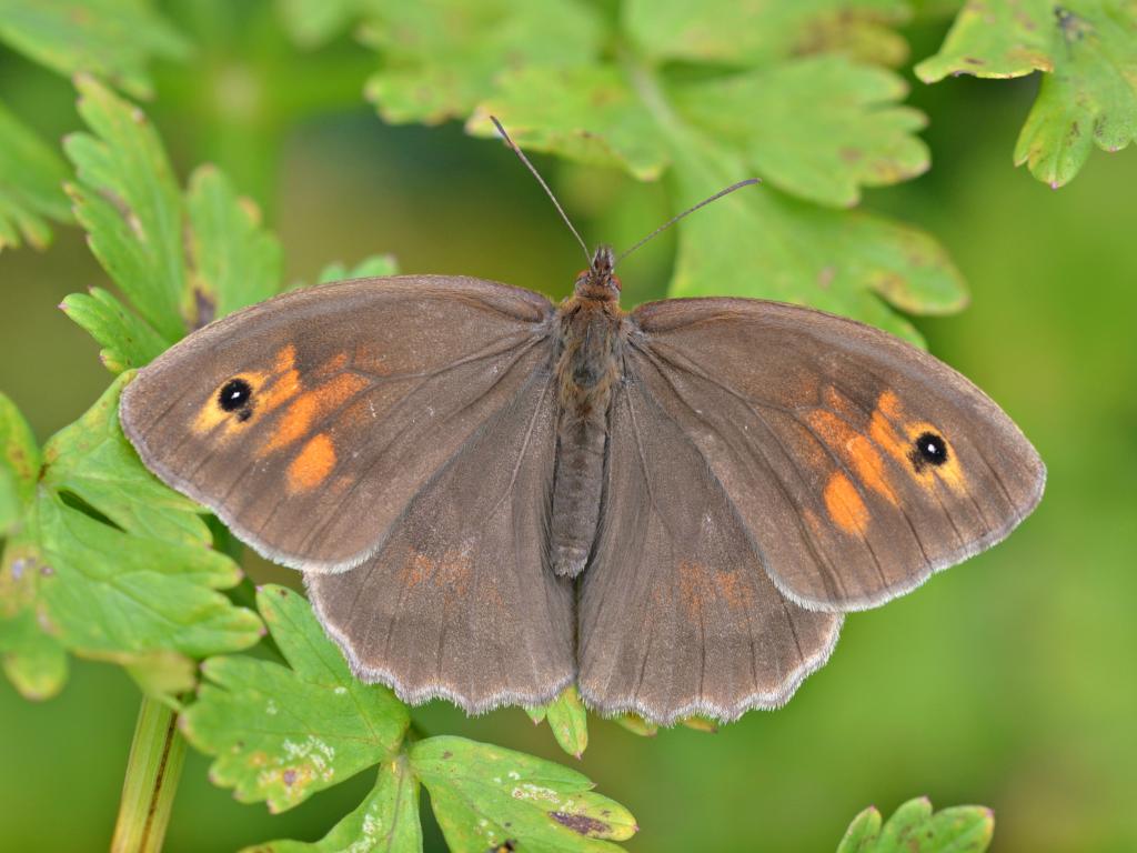 Meadow brown female upperwing