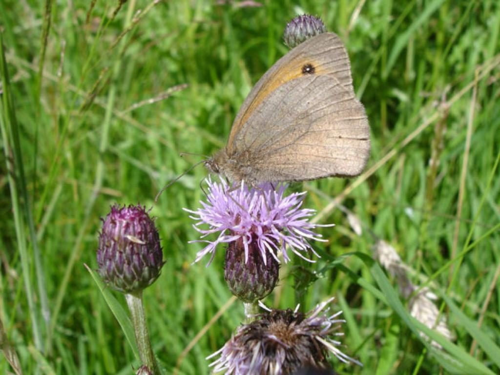 Meadow brown male underwing