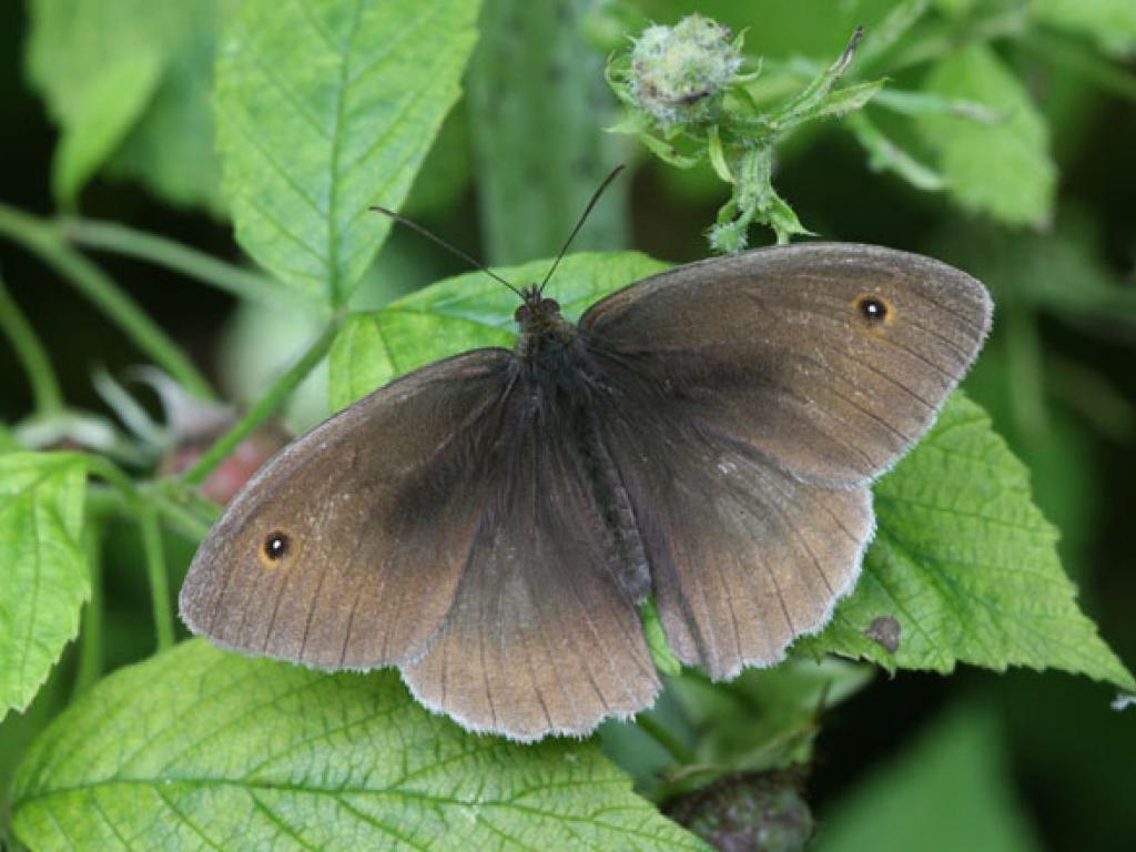Meadow brown male upperwing