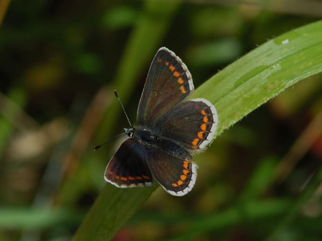 Northern Brown Argus (upperwing)