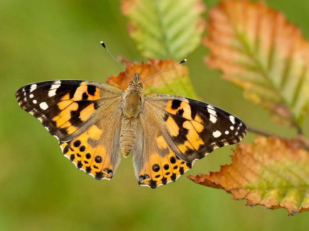 Painted Lady (upperwing)