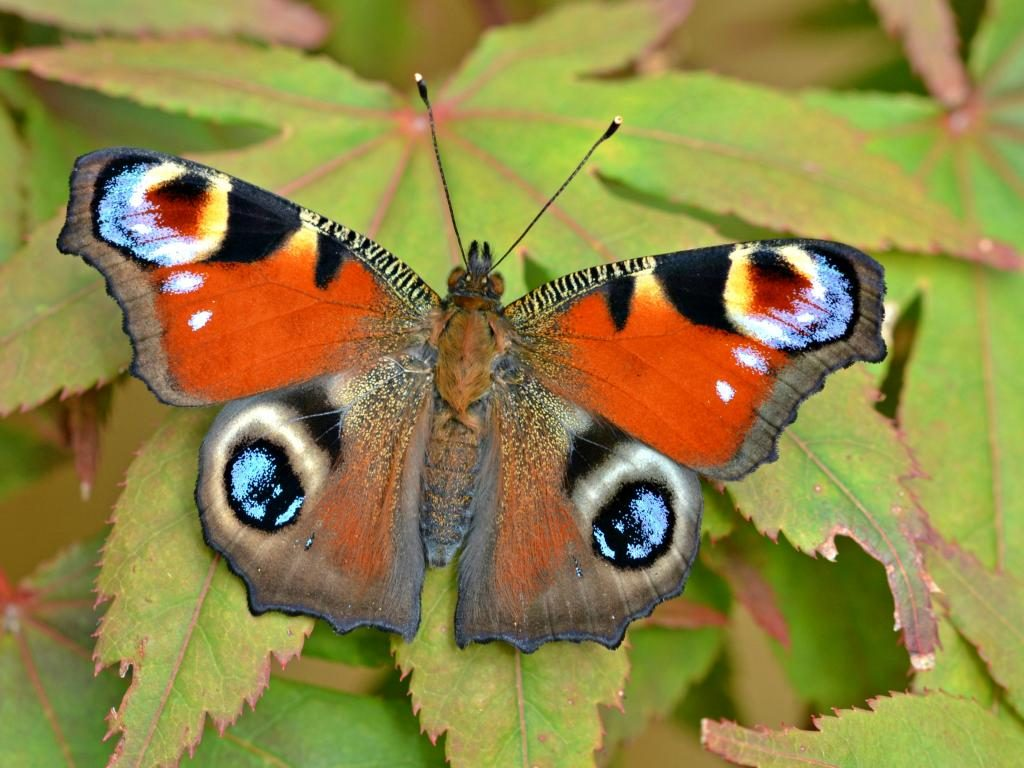 Peacock upperwing