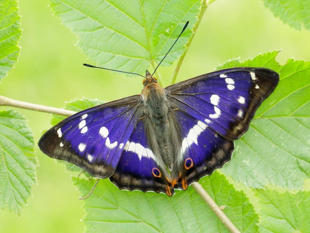 Purple emperor male upperwing