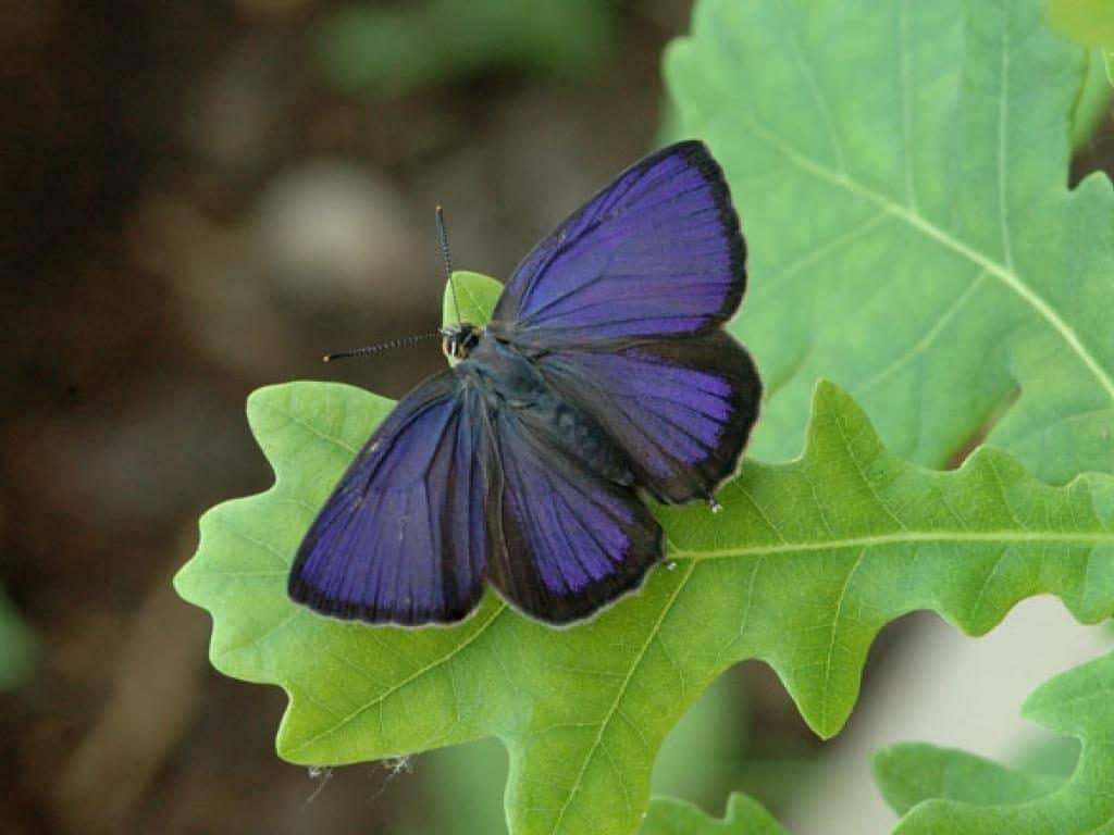 Purple hairstreak male upperwing
