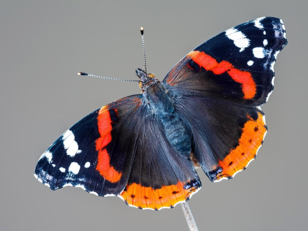 Red admiral upperwing