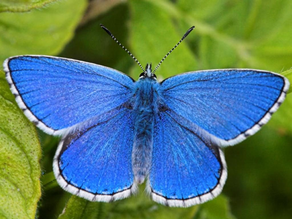 adonis blue upperwing male