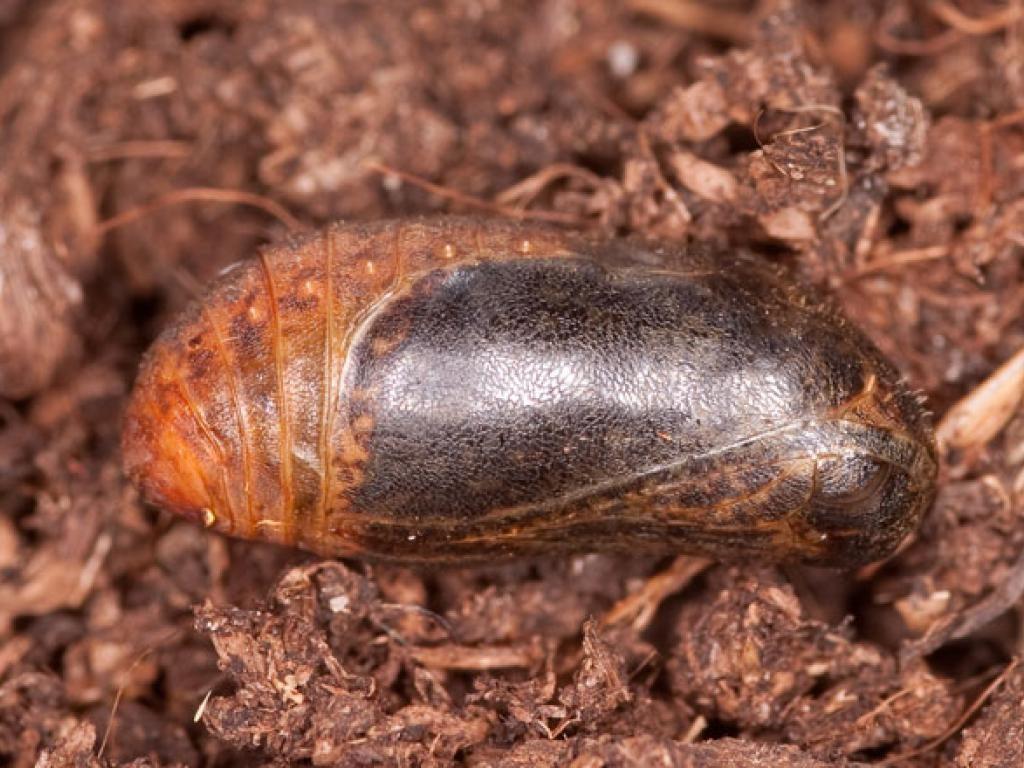 brown hairstreak pupa