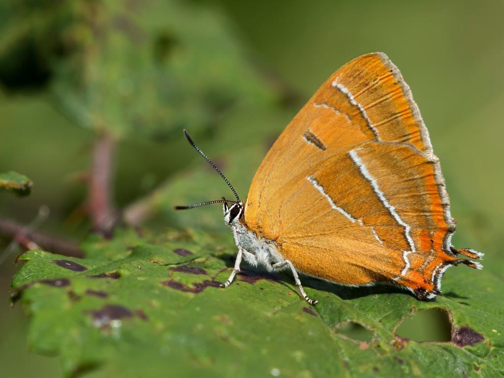 brown hairstreak underwing female
