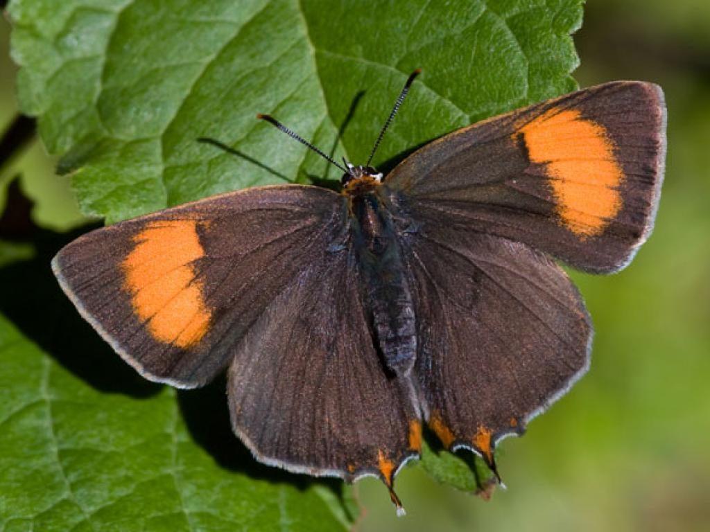 brown hairstreak upperwing female