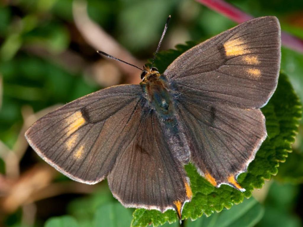 brown hairstreak upperwing male