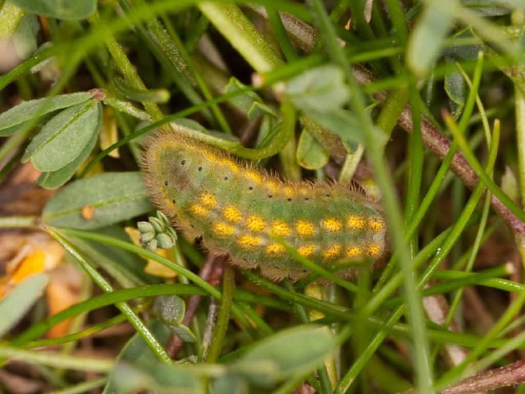chalk hill blue caterpillar