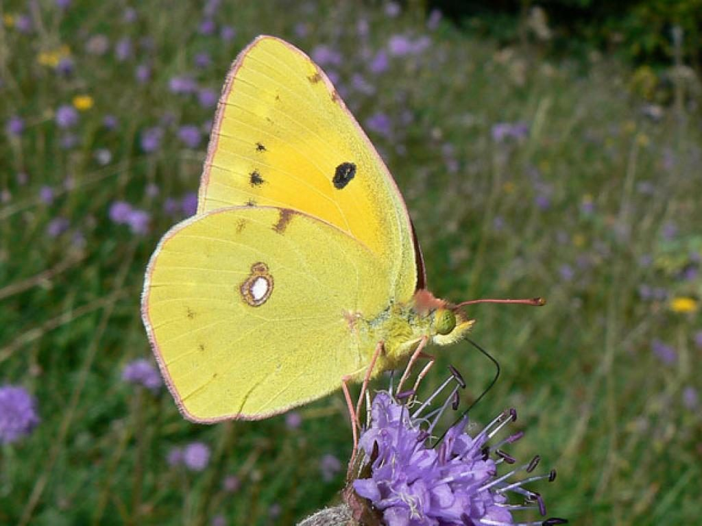 clouded yellow underwing