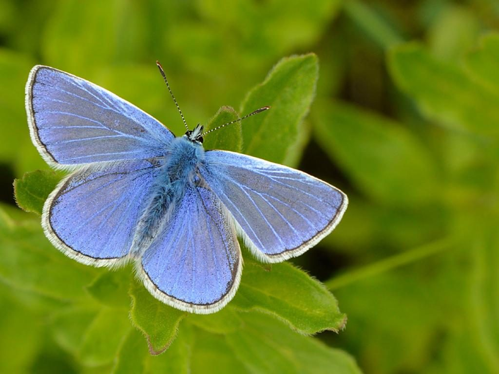 common blue butterfly polyommatus icarus male upperwing