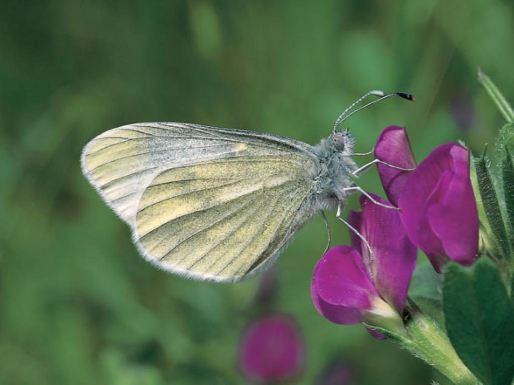 Cryptic wood white butterflies