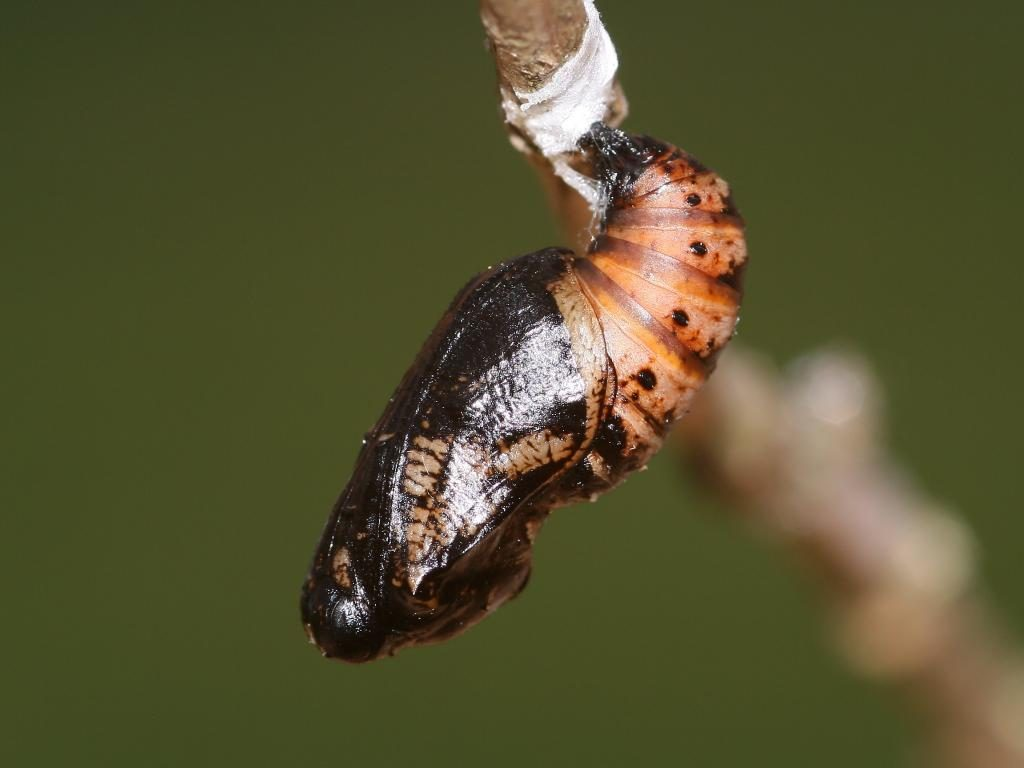 dark green fritillary male upperwing