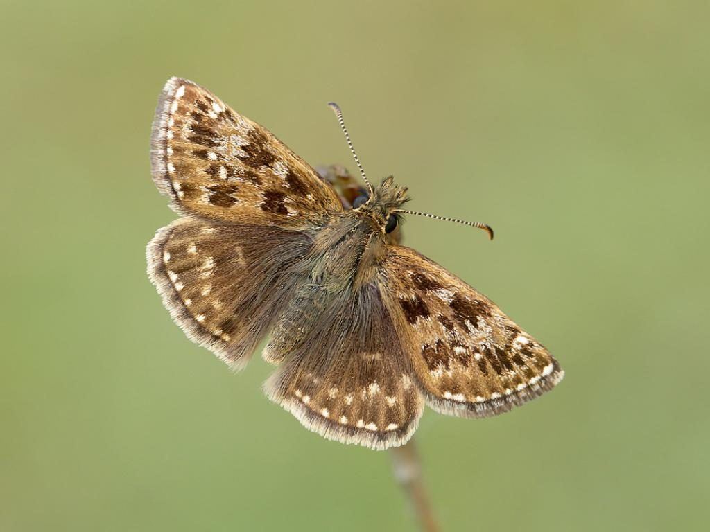 dingy skipper upperwing