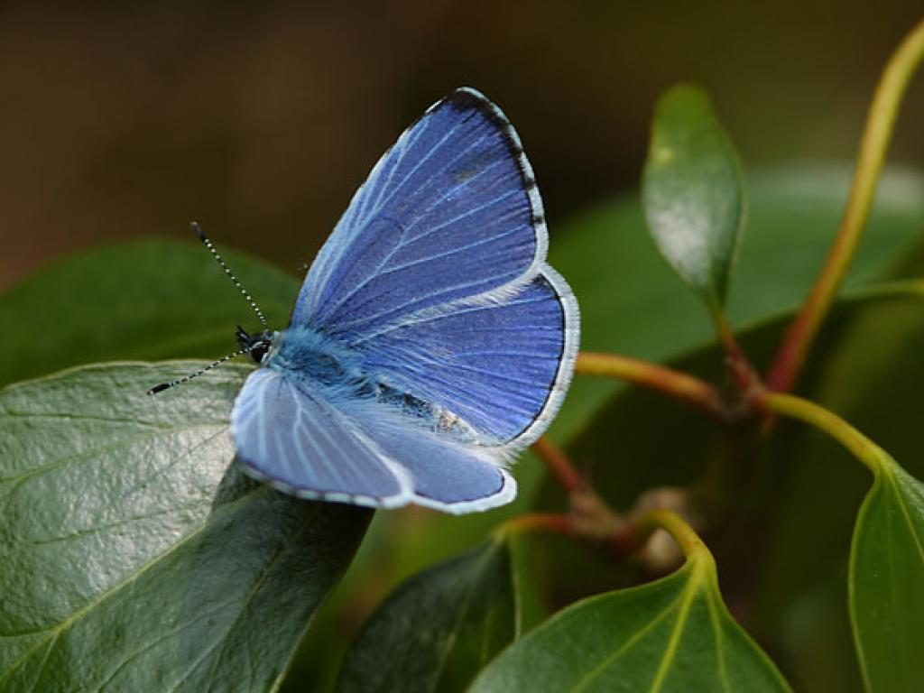 Holly blue upperwing