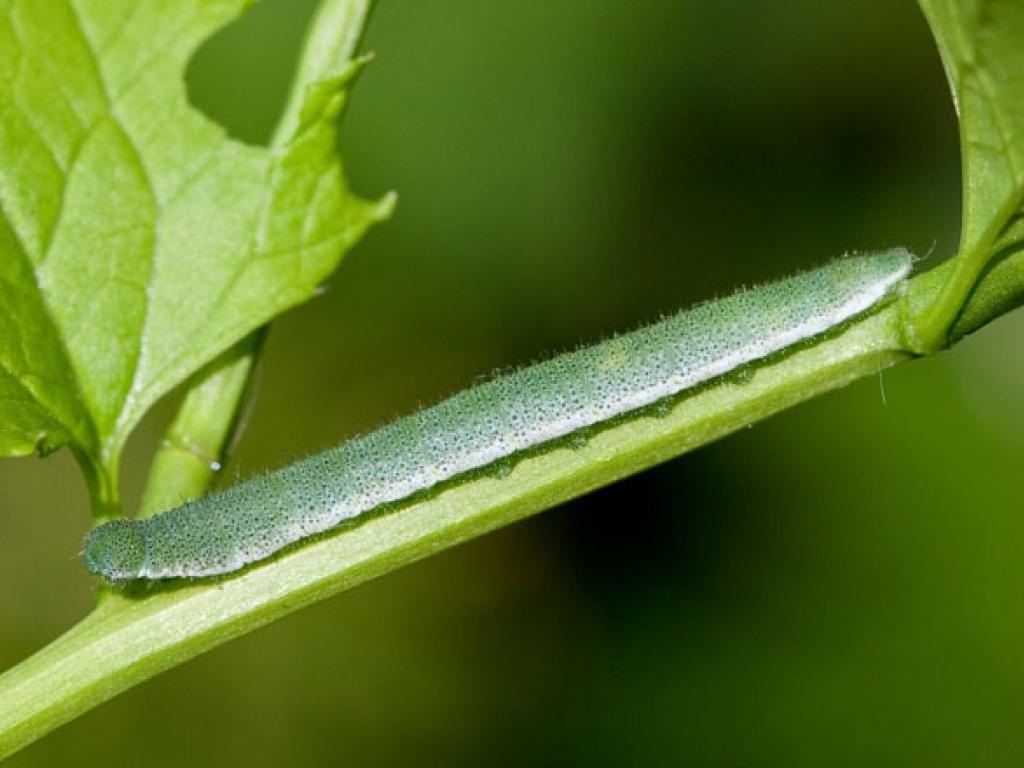 orange tip caterpillar