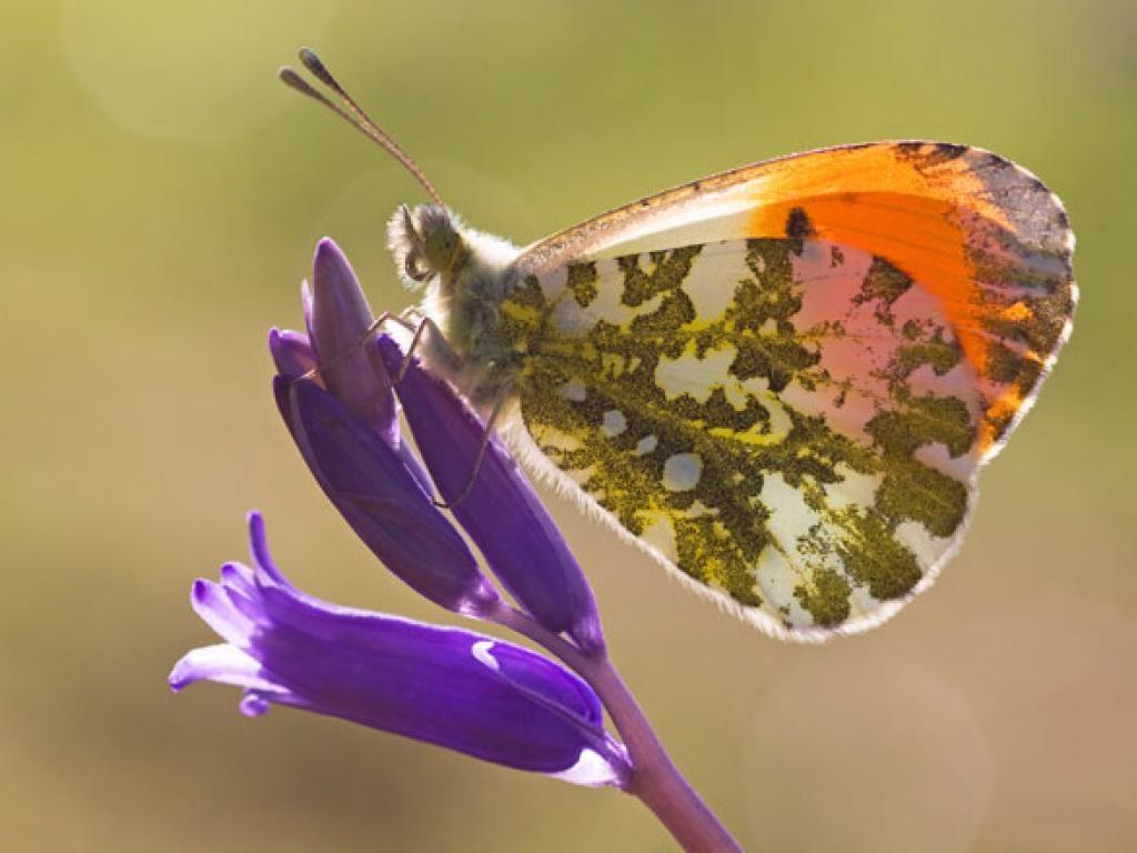 orange tip male underwing