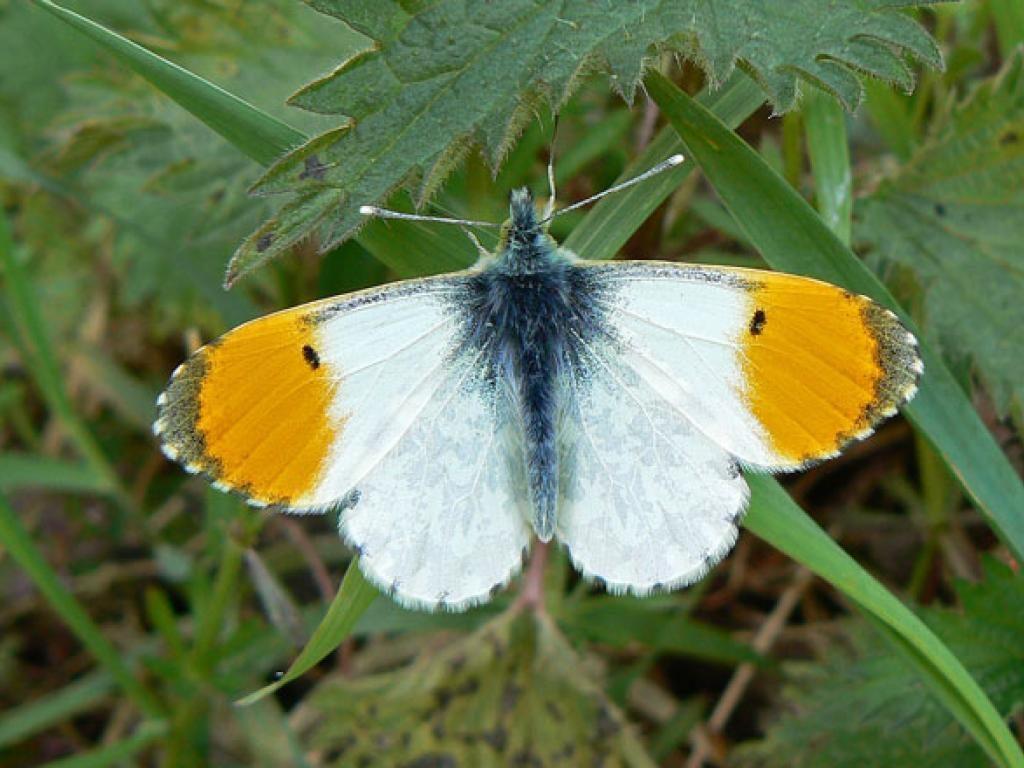 Orange tip male upperwing