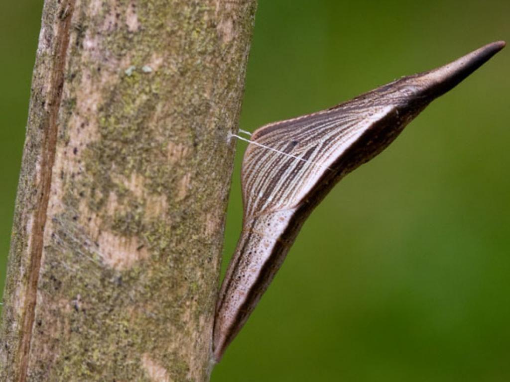 orange tip pupa
