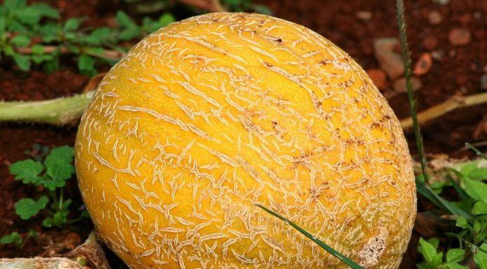 Growing Cantaloupe and Honeydew Melons