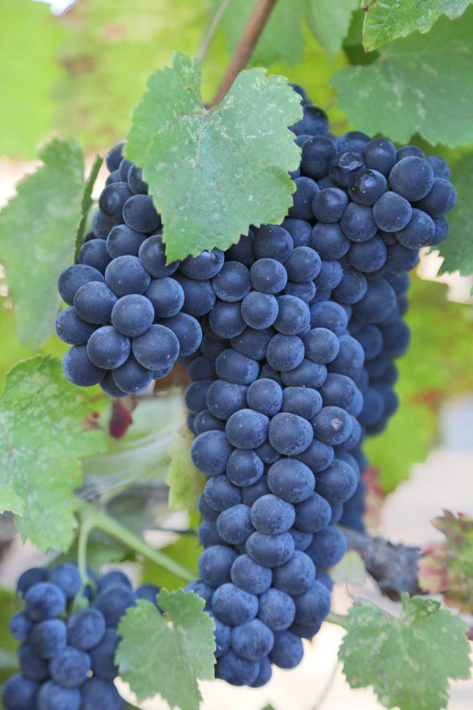 Cabernet Franc Grapes Varieties