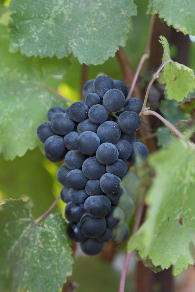 Cabernet Sauvignon Grapes Varieties