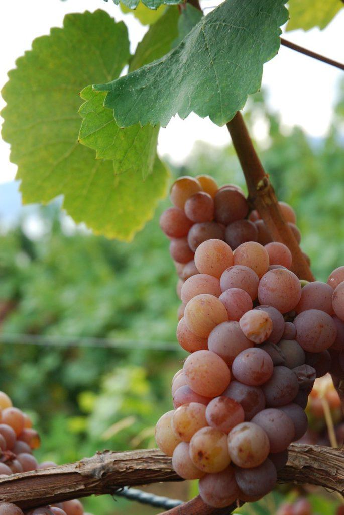 Gewurztraminer Grape