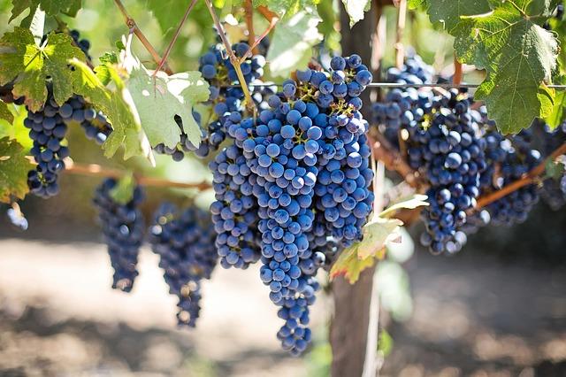 Malbec Grape